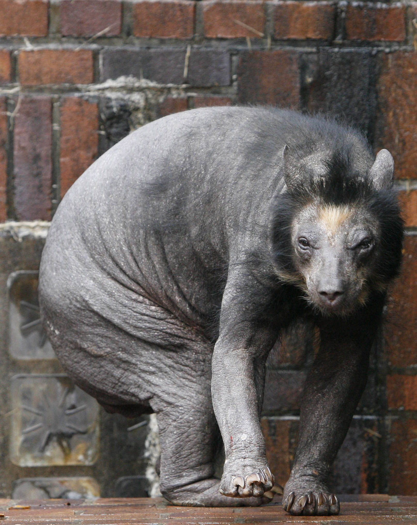 A Spectacled bear named Dolores walks around her enclosure at the zoo in the eastern German city of Leipzig on November 4, 2009. The animal is suffering from hair loss. AFP PHOTO DDP / SEBASTIAN WILLNOW GERMANY OUT (Photo credit should read SEBASTIAN WILLNOW/AFP/Getty Images)