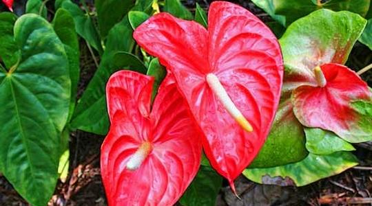 flamingov cvijet