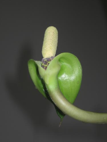 zamioculcas_zamiifolia(lodd.)engl-1461668879