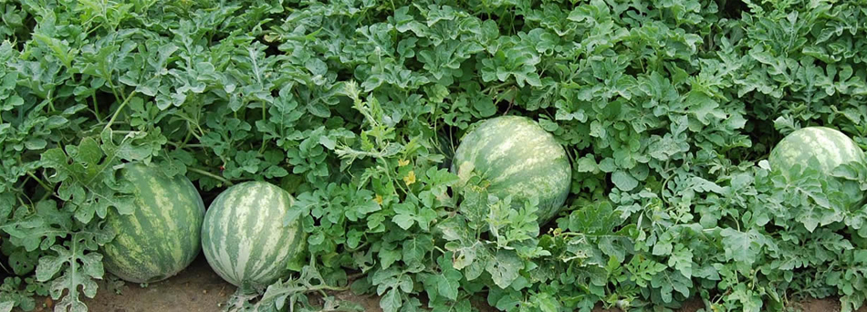 lubenica-2