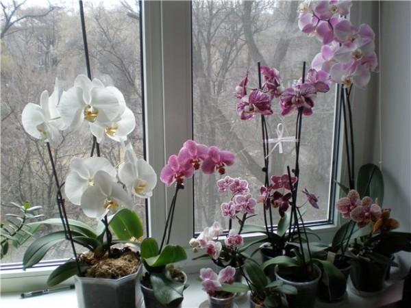 seks s crnom orhidejom