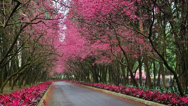 trešnjevi cvjetovi iz braka